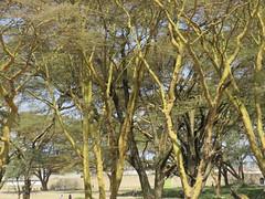 rboles sabana (vicentecamarasa) Tags: rboles sabana