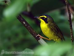 Kentucky Warbler (An Ozark Naturalist) Tags: kentuckywarbler geothlypisformosa woodwarbler warbler birds bird elevenpointriver marktwainnationalforest greerrecreationarea