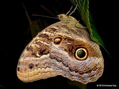 Sleeping Owl-butterfly, Caligo sp. (Ecuador Megadiverso) Tags: amazon brassolini butterfly caligosp fakeeyes falseeyes nymphalidae owlbutterfly rainforest reservaecologicatamandua andreaskay ecuador