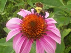 Photo reference (candiceshenefelt) Tags: flower bumblebee beeonflower coneflower echinacea garden summer