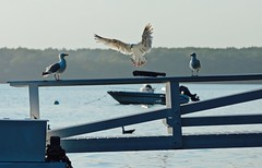 Touchdown! (smilla4) Tags: dock boat seagull flight waterdrops maquoitbay merepoint maine