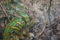 Chameleon (Timo Jng) Tags: animals outdoor chameleon nikon d3300 1855 tiere grn braun farbenfroh