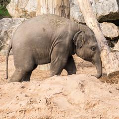 Chester Zoo (lenmidgham) Tags: animal elephant upton england unitedkingdom gb