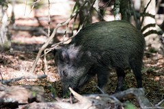 Sanglier (Morgane_W) Tags: sanglier animal faune sauvage wildlife nature fort canon80d tamron150600 susscrofa wildboar