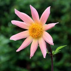 Dahlia (haberlea) Tags: garden mygarden plant flower dahlia apricot petals nature