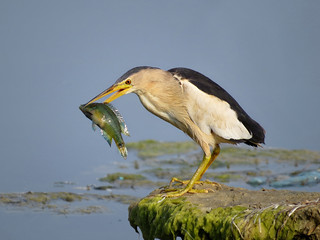 ♂ Little Bittern with prey, Ocellated Wrasse.