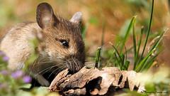 Lultima cena (Ferruccio Zanone) Tags: topo selvatico roditore famiglia dei muridi sottobosco macchia gialla