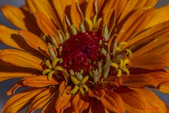 IMG_0612 a flower (starc283) Tags: starc283 flora flower flowers flickr canon7d canon macro