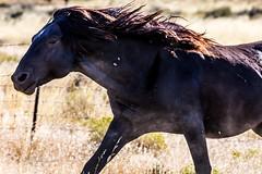 On the Run (Just Used Pixels) Tags: wildhorses utah desert mustangs black horses