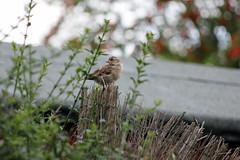 23rd August 2016 (lucyphotography) Tags: sparrow bird garden brown scotland british sitting post wood bokeh