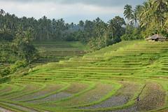 Rice Terraces, Belimbing,  Bali (cpcmollet) Tags: bali tabanan rice terraces arroz terrazas nature color naturaleza campos traditional paradise asia mountain green verde travel beauty forest island field colourful landscape trip