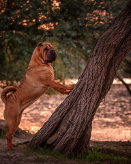 The Lean (Y. Robbins) Tags: sharpei dog tree leaning power powerful tilt tilting falling posing littledoglaughedstories