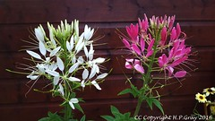 Cleome (Shug1) Tags: flower cleome inmygarden