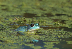 axanthic Green Frog in duckweed (Salamanderdance) Tags: axanthic green frog rana clamitans amphibian blue herp pond summer female