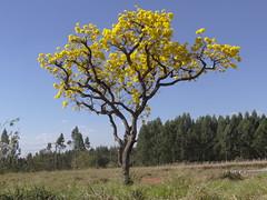 DSC05910 Ip Amarelo (familiapratta) Tags: sony dschx100v hx100v iso100 natureza flor flores nature flower flowers
