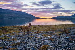Evening walk with my puppy (Niuq) Tags: norway fjords poro2016tour sea sunset clouds beach rocks algae colorful sky weather tranqullity puppy landscape mountains water reflections orange pink malinois