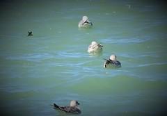 37. Port en Bessin - Huppain (@bodil) Tags: oiseaux bird goland herringgull