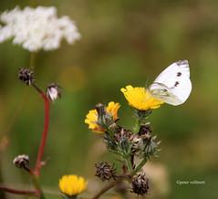 22-IMG_4556 (hemingwayfoto) Tags: august blhen blte blume insekt kohlweisling lebewesen schmetterling tagfalter tier weis