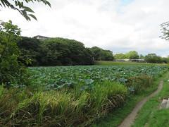 IMG_4914 (jaglazier) Tags: 2016 9516 castles copyright2016jamesaglazier deciduoustrees flowers fukuoka japan landscape moats plants september trees clouds fukuokajo gardens lotus parks ponds