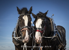 Shots from another great day out with members of Bridgwater Photographic Society (Cromwell's Boy) Tags: shire horses shirehorses horse carthorse ploughing bridgwater