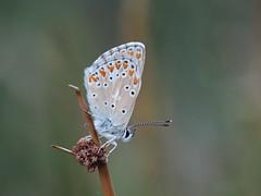 Aricia morronensis (diegocon1964) Tags: ariciamorronensis papilionoidea lycaenidae polyommatinae polyommatini aricia morronensis