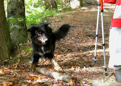 Good day, mam. Would you like to play with me? (Pasji_horizont) Tags: pasjihorizont dog dogs doghiking doghappy dayhike dogplay forest fall animal bordercollie canine colorfull fetch hikingwithdog happydog hikingdog outdoor pet paws playfull puppy playing play shepherd tree