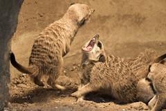 Fight (michel1276) Tags: erdmnnchen kampf fight meerkats tierpark bochum
