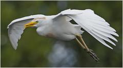 Cattle Egret ( On a Mission ) (billkominsky ) Tags: naturethroughthelens ngc npc