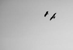 Bird Sky (Audrey_Lamy) Tags: japan japon bird sky fly flying blackwhite noirblanc monochrome inthesky ciel vol voler oiseau okayama