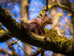 so blue (Florian Grundstein) Tags: squirrel eichhrnchen tree baum himmel bokeh bluesky natur forest wald wildtiere fauna animal