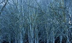 Blue notes (Michele's POV) Tags: singtheblues naturesharmonies songofnature intricateharmonies bluenotes blues harmony singingtheblues naturalharmony musicalscore blue trees forest singingforest symphonic symphonicharmony