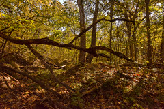 Forest Floor, Kansas, U.S.A. (thefisch1) Tags: fall color forest tree trunk fallen leaves lines sky leaf kansas interesting line oogle nikon dead vertical horizontal