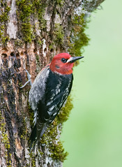 Red-breasted Sapsucker (Wes Aslin) Tags: redbreastedsapsucker britishcolumbia canada abbotsford bird avian woodpecker sphyrapicusruber