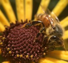 Bee Pollinating a Black Eyed Susan (ikilledkenny1029) Tags: bee pollinating pollination flower blackeyedsusan