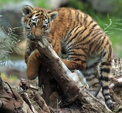 siberian tiger Duisburg JN6A7801 (j.a.kok) Tags: tijger tiger tigercub siberischetijger siberiantiger amoertijger amurtiger duisburg pantheratigrisaltaica cub cat predator