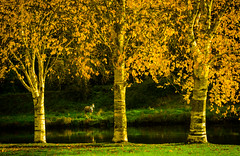 Autumn Colors (Fergal Gleeson) Tags: landscape nature autumn fall colors leaves trees outdoors sunshine golden river water reflection horse animal scenic frame kilkenny ireland green ngc tree plant foliage park serene outdoor