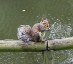 Hungry chap ..... (Halliwell_Michael ## More off than on this week #) Tags: 2016 nikond40x northyorkshire scarborough peasholmpark squirrel animals feeding greysquirrel