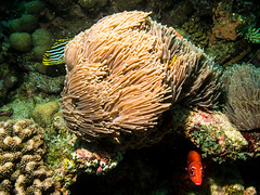 (missfisher') Tags: anemone maldives indianocean