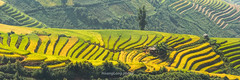 Y9518-20.0916.Xm Vng.Bc Yn.Sn La (hoanglongphoto) Tags: asia asian vietnam northvietnam northwestvietnam outdoor landscape scenery terraces terracedfields harvest terracedfieldsinvietnam terracedfieldsinsonla terracedfieldsximvang hill hillside caonon canoneos1dx afternoon sunlight sunnyafternoon terracedscene tybc snla bcyn xmvng phongcnh ngoitri rungbcthang lachn magt buichiu nng nngchiu ngni sni dyi vietnamscenery vietnamlandscape rungbcthangxmvng rungbcthangsnla phongcnhsnla phongcnhbcyn canonef100400mmf4556lisusmlens curve curves ngcong abstract trtng panorama