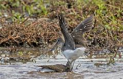 DSC4627  Green Sandpiper.. (jefflack Wildlife&Nature) Tags: greensandpiper sandpiper birds avian wildlife wildbirds waterbirds wetlands waders estuaries lakes countryside coastalbirds nature