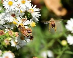 DSC_3301  Wait for Meee!!! (Explored) (laurie.mccarty) Tags: nature bee honeybee wildlife nikond810 nikon bokeh