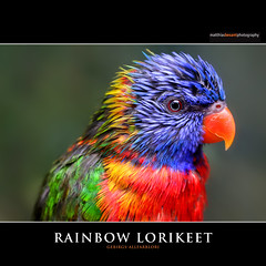 RAINBOW LORIKEET (Matthias Besant) Tags: animal tier head kopf natur nature bill schnabel face gesicht coloured farbig bird vogel art bunt colourful farbenfroh pied feather feder body federn tierfotografie parrot federkleid papagei aves krper tierfoto feathering keilschwanzlori rainbowlorikeet gebirgslori allfarblori gebirgsallfarblori animalphotography deutschland ~themagicofcolours~xiv