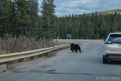 Oso negro (robertopastor) Tags: amrica canada canadianrockiesmountain canad fuji jasper montaasrocosas robertopastor viaje xt2 xf1655mm oso bear