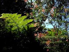 Backlit (Lesley A Butler) Tags: australia kingspark wa wildflowers perth