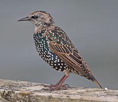 Starling (Sturnus vulgaris) (drbut) Tags: starling sturnusvulgaris starlings sturnidae nature wildlife outdoor gitzo gt5532s