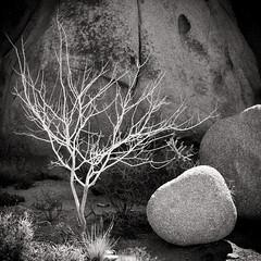 Tree Skeleton (*trevor) Tags: 2016 america boulder bush california fujifilm joshuatree joshuatreenationalpark mojavedesert usa xseries xt1 dead decay skeleton tree