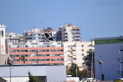 LOST IN THE CITY [Pernilongo / Black-winged stilt (Himantopus himantopus)] (Mark & Cy Photos) Tags: action activity angle animal animalia apartment architectural architecture area background beast bell bird black block blue blurred bottom building center charadriiformes church city cityscape composition crafts element environmental exterior facility feather flat flying focus format framing genre himantopus horizontal landscape life light lighting natural orientation outdoor photgraphy photo photography place population residential setting site sky stilt stiltsavocets structure style time town travel urban view weather wild wildlife winged worldartscraftsphotographysettingexterioroutdoorcityscapephotogenrestyletypeurbanphotgraphywildlifetravelorientationlandscapelightingnaturallightframingcompositionenvironmentalformathorizontalfocusbackgroundblurredangleviewb