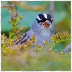 White Crowned Sparrow (Taiga ) (RKop) Tags: a77mk2 600mmf4apogminolta armlederpark ohio cincinnati raphaelkopanphotography sony