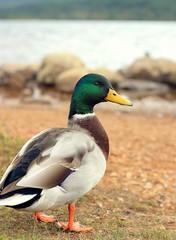 Duckface (Leuchtschnitte) Tags: lochmorlich scotland travel bird ente duckface duck