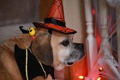 Smokey - A little batman magic! (C. VanHook (vanhookc)) Tags: dog portrait photoshoot halloweencostume ourfamilyhero puggle pet superhero chunkyolddog chaserofsquirrels catfoodeater toysqueaker toychewer